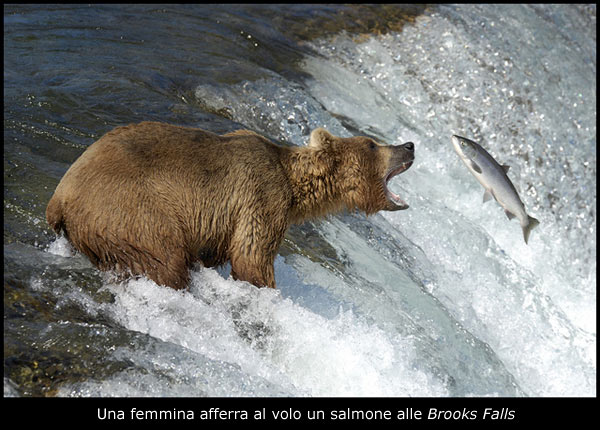 Fotografia nadir magazine il paradiso degli orsi grizzly for Affitti cabina grande lago orso